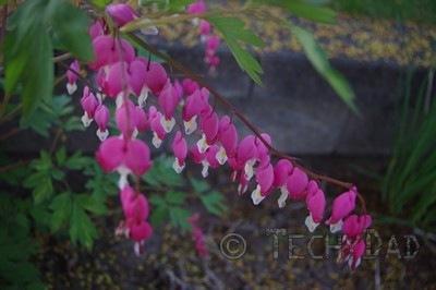 heart-flowers