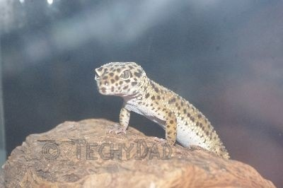 leapard-gecko