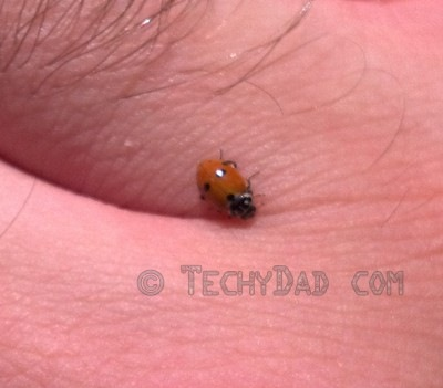 ladybug1