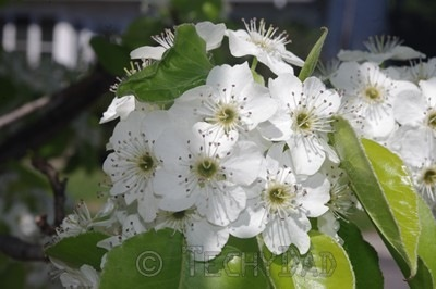 white-flowers